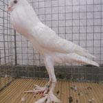 Zwergkröpfer weiß