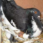 Heute ist mein erstes Ei geschlüpft, das zweite angepickt! F:Meier