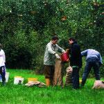 Apfelernte am Plattenwald 1999.