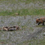 26.06. Mini-Fuchs