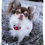 Whisper, Chihuahua