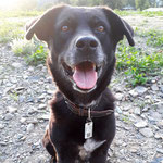 Lilly, Labrador-Münsterländer-Mix