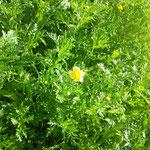 春菊 chrysanthemum green