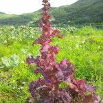 サニーレタス red leaf lettuce