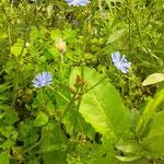 トレビスの青い花 small blue flower of radicchio, Italian red lettuce