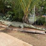 ... nur ein kleines Krokodil da.
