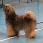 BOB Tibet Terrier Ch.Klasse Qilian Sam D´Gaba Skyel Ba