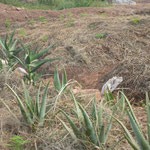 Aloe Vera (bei Magengeschwüren, Wunden), Artemisia (bei Malaria, Hautkrankheiten, Krebs).