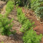 Artemisia - Lebensretterin bei Malaria und Aids, ist die wichtigste Heilpflanze im Gesundheitsgarten, braucht allerdings viel Aufmerksamkeit und sorgfältige Pflege.