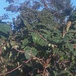 """""""Bittere Tomaten"""" (nyanya chungwa). Sie werden als Würzgemüse geschätzt."""