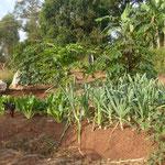 """Kleiner Blick auf den Gesundheitsgarten von Hosiana: Kaffeestrauch, Papayabaum, Kassavabusch, unten """"Spinach"""", Zwiebeln, Bohnen."""