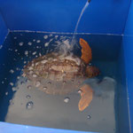 Centro di recupero delle tartarughe ferite