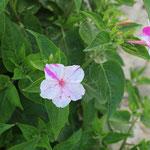 002_Baiona_fioriture sulla spiaggia