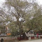 Prizren: il platano di 400 anni
