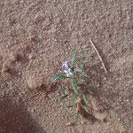 Flora nel Wadi Rum
