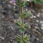 Acinos arvensis - Steinquendel (Rote Liste 3)