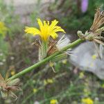Chondrilla juncea - Knorpellattich (Rote Liste 2)