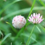 Trifolium fragiferum - Erdbeerklee (Rote Liste (3/2)