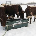 Täglich frisches Wasser auch im Winterauslauf.