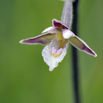 Epipactrice palustris
