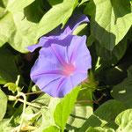 """Incontournable belle de jour, jardin de chez """"TAO"""""""