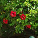Jardins de la tour de sel, hibiscus tropical