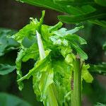 Déroulement d'une feuille de phylodendron, jardin de la Tour de sel
