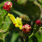 Eboulis sud, fleurs de cactus raquette, figuiers de barbarie