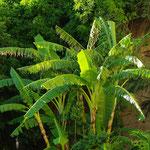 Jardins de la tour de sel : bananier