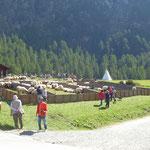 Walliser Schafe auf dem Schäferfest in Findeln bei Zermatt