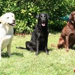 Aika, Lotte und Lena, die 3 Labbies vom VdH Wetzlar