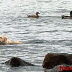Aika, die Labradorhündin in ihrem Element