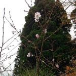 山桜 年に2回咲くみたいです