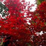 紅葉がとてもきれいでした!もみじは実はともて種類が多いそうです。枝分かれの仕方で見分けるみたいです。