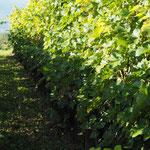 Gepflegte Weinzeilen haben auch ihren optischen Reiz