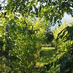 Der Grüne Veltliner-Boden ist eine ständige Einladung für Rehe