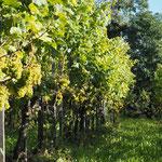 Grüner Veltliner-Boden mit - zu viel - freigestellten Trauben - den Rehen hat es wieder einmal zu gut geschmeckt