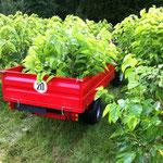 Ernte von Blättern für die Fütterung von Raupen