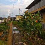 西武安比奈線 -ヒマワリの咲くレール-