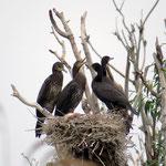 Kormorane (Junge im Nest)