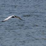 Weißbartseeschwalbe