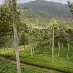 Teeanbau in Sri Lanka