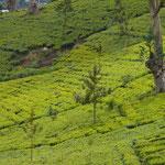 Teeplantage in Sri Lanka, Nuwara Eliya