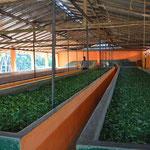 Welktröge für Teeblätter in Sri Lanka, bei Fort Galle