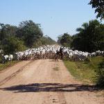 100 Rinder und wir im Weg