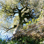 Die Bäume können hier riesig werden (Bis zu 70 Meter!)