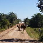 Die Herde kommt