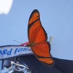 überall zur Mittagszeit die Schmetterlinge in tausend Farben