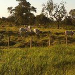 Die weissen Rinder