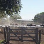 Rindereintreiben live
